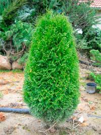 Thuja occidentalis 'Green Egg'