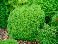 Thuja occidentalis 'Little Giant'