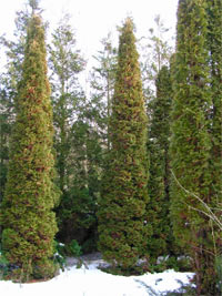 Thuja occidentalis 'Mandi'