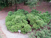 Thuja occidentalis 'Milleri'