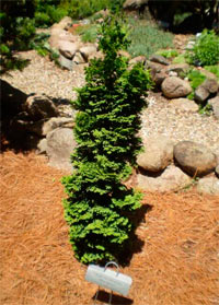 Thuja occidentalis 'Mini Spiral'