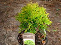 Thuja occidentalis 'Miriam'
