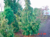 Thuja occidentalis 'Nekrolog'