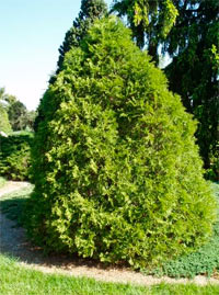 Thuja occidentalis 'Recurva Nana'