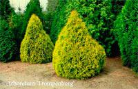 Thuja occidentalis 'Rheingold'
