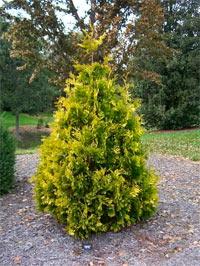 Thuja occidentalis 'Rosencrans'