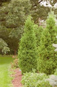 Thuja occidentalis 'Rosenthalii'