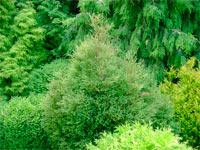 Thuja occidentalis 'Sherwood Moss'