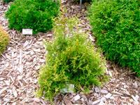 Thuja occidentalis 'Sphaerica'