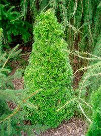 Thuja occidentalis 'Spotty Smaragd'