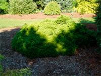 Thuja occidentalis 'Umbraculifera'