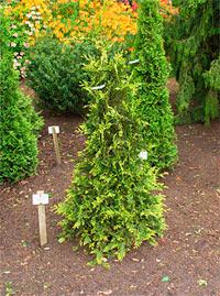 Thuja plicata 'Aurescens'