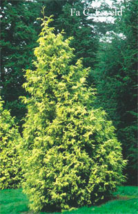 Thuja plicata 'Irish Gold'