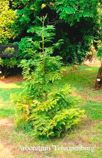Thujopsis dolabrata 'Altissima'