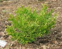 Thujopsis dolabrata 'Aurea nana'