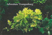 Thujopsis dolabrata 'Aurescens'