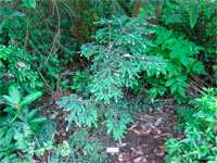 Tsuga canadensis 'Albocpica'