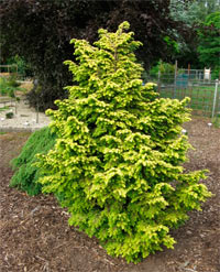 Tsuga canadensis 'Everitt Golden'