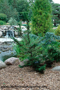 Tsuga canadensis 'Forest Fountain'