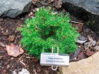 Tsuga canadensis 'Gentsch Dwarf Globe'