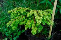 Tsuga canadensis 'Liberec Broom'
