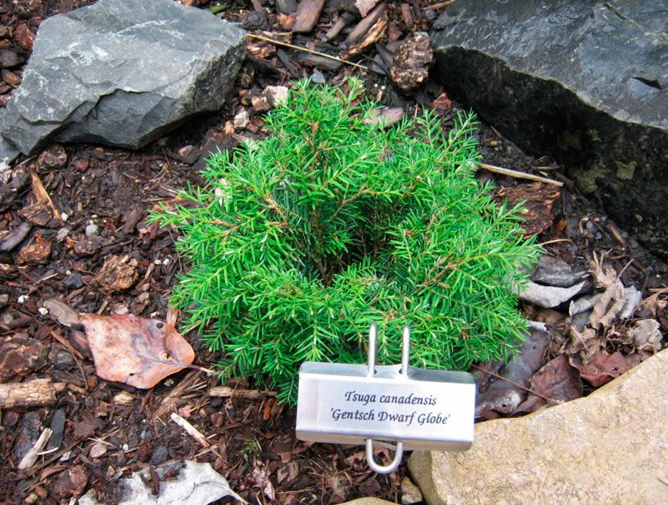 Дополнительные фото tsuga canadensis palomino