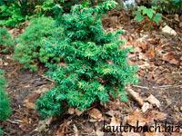 Tsuga canadensis 'Pygmaea'