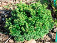 Tsuga canadensis 'Verkade Pincushion'