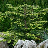 Tsuga canadensis 'Verkade Recurved'