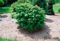Tsuga canadensis 'Witches Broom'