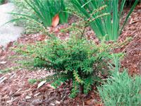Tsuga diversifolia 'Gracilis'