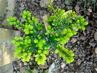 Tsuga diversifolia 'Kogane-no-hana'