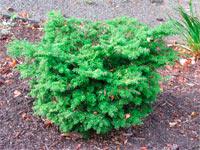 Tsuga diversifolia 'Loowit'