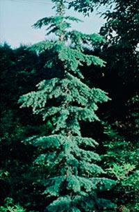 Tsuga mertensiana f. argentea